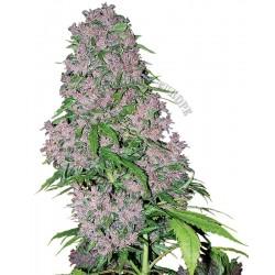 purple bud white label...
