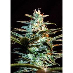 ice cool sweet seeds...