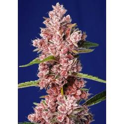 tropicanna poison f1 sweet...