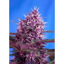 red poison sweet seeds...