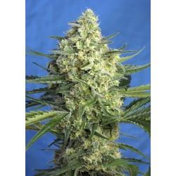 jack 47 xl sweet seeds...