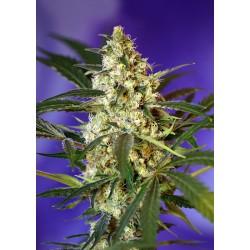 fast bud 2 sweet seeds...