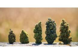 Los colores en el cannabis