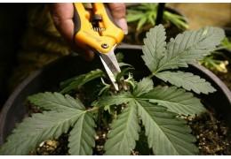 Aprende los secretos de la poda de Marihuana para floración